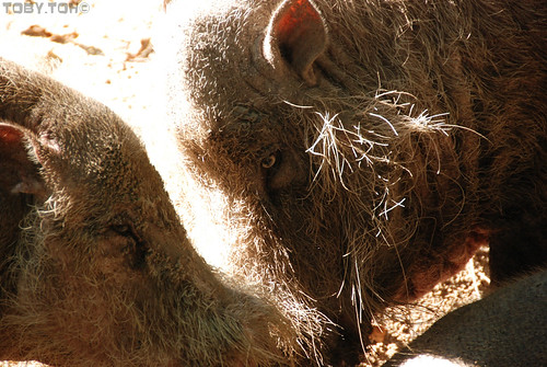 bearded boars