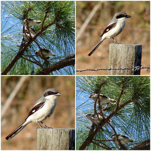 Loggerhead Shrike and Fledglings