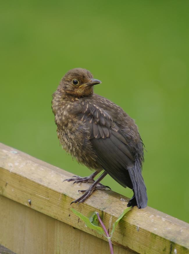 Blackbird fledgling