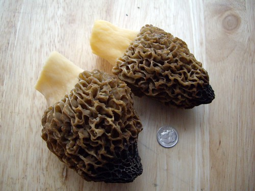 Morels from my Backyard