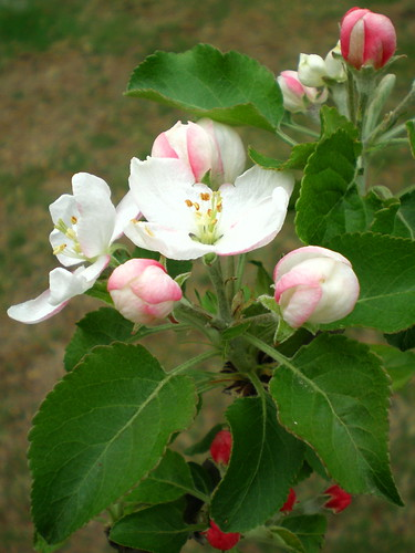 Our First Apple Blossoms