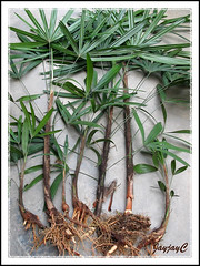 Step 3: Propagating Rhapis excelsa or Lady Palm, April 2 2009 at our backyard. Separated 7 young plants