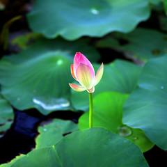 The New Beginning (JannaPham) Tags: life new morning pink flower macro green dedication thanks canon garden eos golden spri
