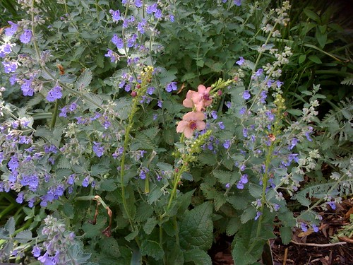 Catmint and verbascum
