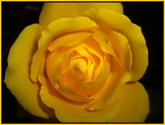 Exquisite (ccmerino) Tags: flowers flower macro nature colors rose yellow flora macros soe masterphotos macrolife exquisiteflowers flickrlovers awesomeblossoms dragonflyaward