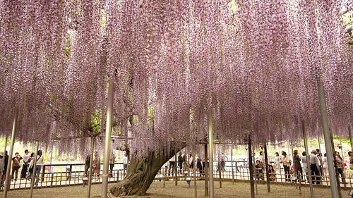 Ashikaga Flower Park 13