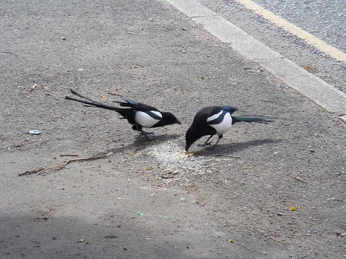 2 oiseaux picorent-3