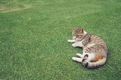 Japan Cat (Shorty Chen) Tags: film japan cat tokyo   minox dnp  minox35gtx