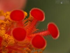 Pistilos Rojos (★☆Gigi☆★) Tags: red flower macro canon garden rojo venezuela details flor jardin caracas hibiscus detalles cayena dcr250 raynox pistilo elhatillo macrolicious colorphotoaward pistillum androceo colorsinourworld sx10is topotepuy ginecio