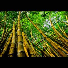 Bamboo Forest (cteteris) Tags: bamboo 24mm singaporezoo 2470mm28 natureycrap nikond700