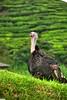hdr turkey (jasonlouphotography) Tags: cameronhighlands sgpalas