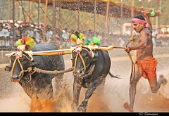 Speed & Splash | Kambala ($owmya) Tags: travel india water animal sport speed buffalo mud slush pride passion farmer karnataka dakshinakannada sowmya traditionalsport kambala puttur asianheritage 400d canon400d folksport owmya kotichennaya