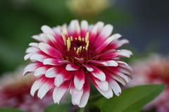 Will You Remember Me? (Mona Hura) Tags: pink dahlia flowers white flower petals petal fancy perenial flowerwatcher
