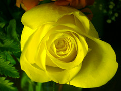 yellow graduation rose
