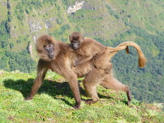 Gelada baboons (NettyA) Tags: world africa mountains heritage nature unesco ethiopia baboons gelada simien