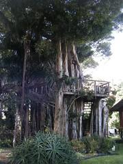 Banyan Tree Treehouse (Go Gravy!) Tags: hawaii treehouse thebigisland banyantree