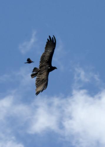 VultureRedwingEmiquon07292009JGWardIMG_6527
