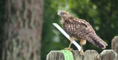 Hawk3834