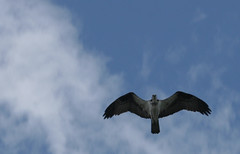 osprey_teton2