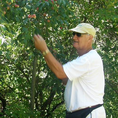 picking plums