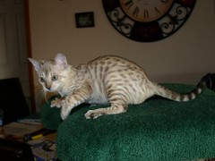 12 Week Old Female Spotted Seal Mink Snow Bengal with Aqua-colored Eyes (Junglelure) Tags: cats female cat kitten florida kittens bengals bengal centralflorida spottedleopards seallynx aquaeyes spottedleopard spottedsnowleopard sealmink snowbengals sealsepia junglelure