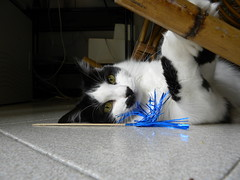 Lillo's plays (wanderingchiara) Tags: pet cat chat kitty lillo blancheetnoir