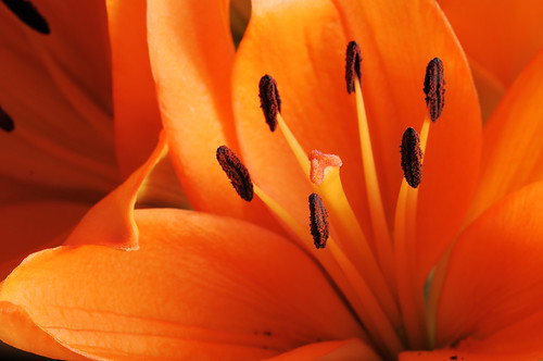 Close up of an orange lily