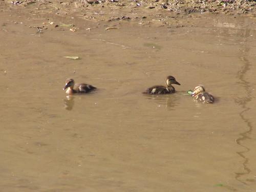Trio of Little Ducklings