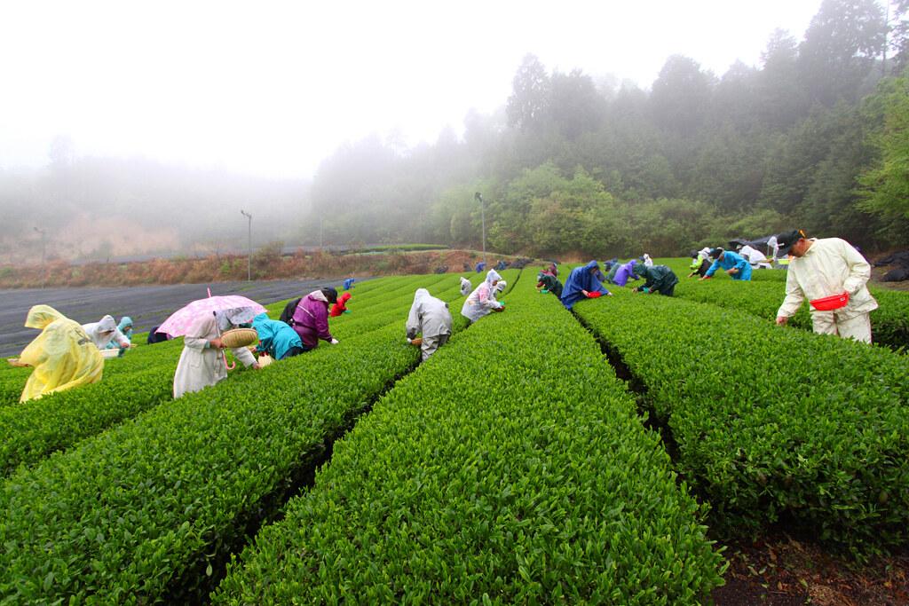 Inokura tea garden (3)