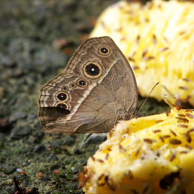 被鳳梨吸引的蛺蝶