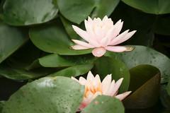 Water lily (ddsnet) Tags: plant flower waterlily sony aquatic  aquaticplants 900       lily water  tetragona water   900 lily nymphaeatetragona    nymphaea plants aquatic nymphaea tetragona  900 plantsnymphaea tetragona