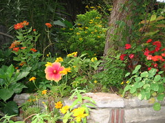 Autumn blooms tumbling over rock wall (pawightm (Patricia)) Tags: flowers autumn orange yellow rock stone austin garden backyard hibiscus limestone malvaceae hibiscusrosasinensis retainingwall backyardgarden chinesehibiscus flowerborder backyardborder bloomingshrubs pawightm