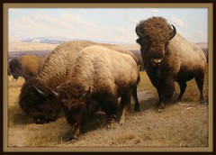 3 Bisons (IslesPunkFan) Tags: ny newyork animal museum display amnh bison americanmuseumofnaturalhistory aplusphoto