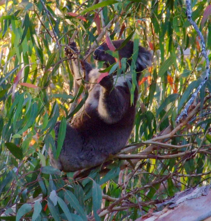 another koala eating leaves