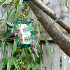 backyard birds (missjenn) Tags: birds backyard suet psaltriparusminimus bushtits