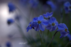 Happy Blue Monday! ( B i b b i ) Tags: flowers blue winter flower canon vinter flora sweden stockholm bokeh greenhouse blomma sverige blommor botanicalgarden 2009 cobalt 30d bl bergianska frescati hbm ipheionuniflorum springstarflower bergianskatrdgrden vxthus canon30d kobolt botanisktrdgrd sigma1770mmf2845dcmacro thebergiangarden edvardandersonsvxthus theedvardandersongreenhouse happybluemonday