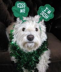 Happy St. Patrick's Day!!  3/52  (Explore #377) (ellenc995) Tags: friends irish pet cute green riley march westie dressedup explore stpatricksday coth 352 supershot pet500 pet100 pet1000 pet1500 naturemasterclass 100commentgroup memorycorner memorycornerportraits 52weeksfordogs coth5 naturallywonderfu