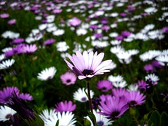 Spring is HERE! (Renz.) Tags: pink flowers white green nature purple depthoffield fieldofflowers multipleflowers flickrsbest bedofflowers