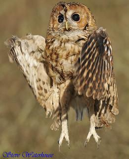 TAWNY OWL  '©'