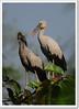 Asian Openbill  (Anastomus oscitans) (Z.Faisal) Tags: bird nature asian nikon beak feathers aves dhaka nikkor bangladesh stork avian bipedal bangla faisal desh d300 zamir savar openbill asianopenbillstork anastomusoscitans pakhi endothermic anastomus nikkor300mmf4 jahangirnagaruniversity oscitans zamiruddin shamukh bhanga vosplusbellesphotos zamiruddinfaisal eshioshamkhol shamukhbhanga eshio shamkhol zfaisal