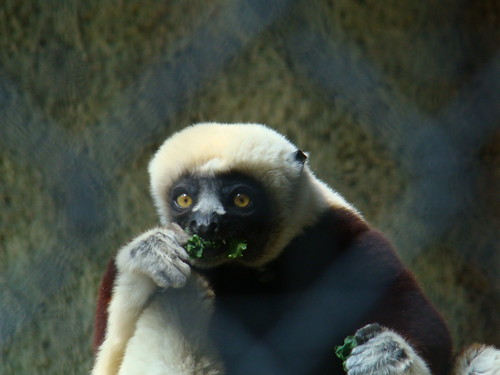 Coquerel's Sifaka at the Los Angeles Zoo