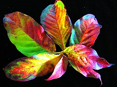 Autumn Gone Wild. ..........THANK YOU for 100+   :) (Mary Faith.) Tags: autumn light plant colour macro tree art fall nature leaves garden fire design bush flora bright vivid multicoloured foliage colourful 1001nights enhanced feaf theunforgettablepictures goldstaraward