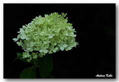 White Hydrangea (Andrea Kollo Photography) Tags: flowers toronto ontario flower color nature colors gardens garden hydrangea gardentour gardentours colorfulflowers naturephoto flowerphotography kingtownship colourfulflower andreakollo springhillphotography