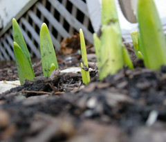 It's Spring (Jonathan Lurie) Tags: spring nikon bulbs sprouts wilmette endofwinter p5000 mywinners