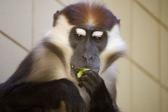 Enjoying An Apple (Sebastian Niedlich (Grabthar)) Tags: berlin animal d50 germany deutschland zoo monkey nikon monk nikond50 nikkor tierpark 2009 affe tierparkberlin 55200mmf456g mangabey grabthar mangabe rotscheitelmangabe sebastianniedlich mar09 cercocebustorquatus cherrycrownedmangabey