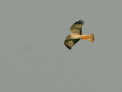 Northern Harrier Male 20090328