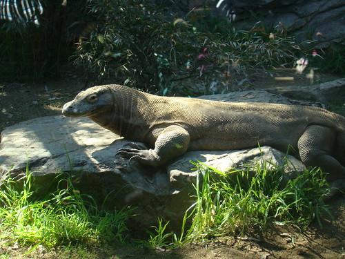 Komodo Dragon at the Los Angeles Zoo