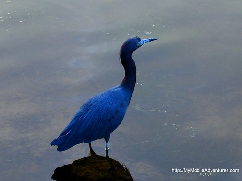 IMG_0417-Little-Blue-Heron
