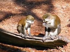 dhh be (dmathew1) Tags: tampa florida lowryparkzoo babywhitetiger babymandrill babyorangatun babycolobusmonkey babyguenon