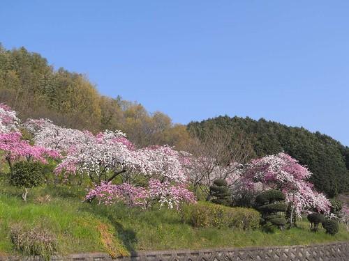 09-04-10【桜】@桜井市の道沿い-03